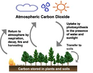 Simple diagram of the portion of the carbon cycle involving trees.