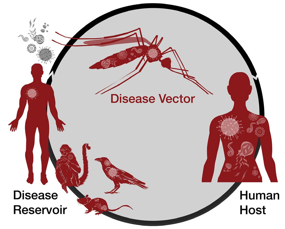 Diagram showing the process of a disease vector.