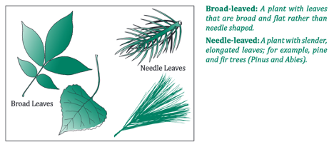 Image guide to identifying Broad-leaved vs Needle-leaved trees