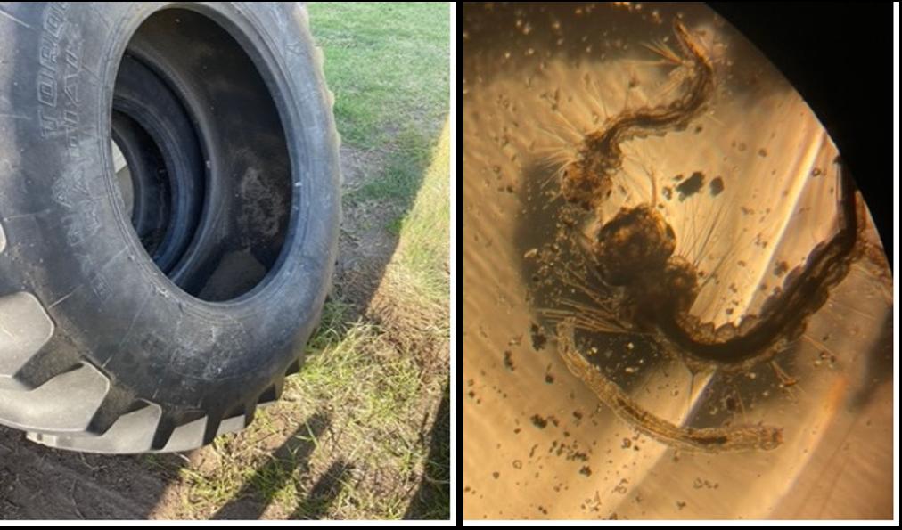 Tire water source and larva in WaKeeney, Kansas, USA